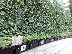 緑のカーテン_杉並区役所